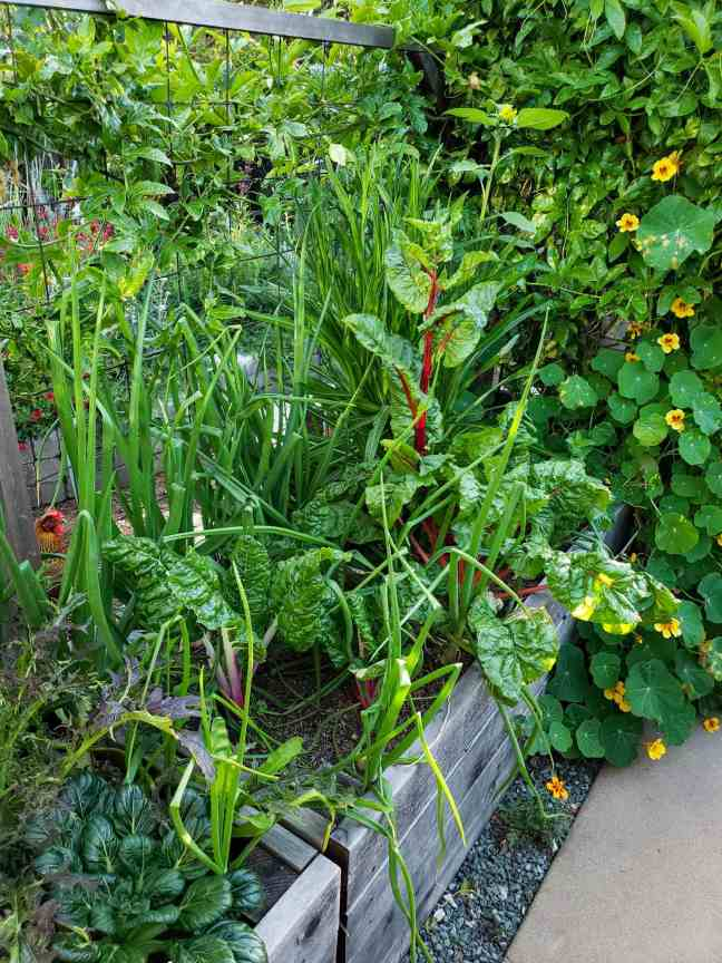 A raised garden bed full of swiss chard planted amongst onions. There is also nasturtium and passion fruit vines in the rear of the bed. There are various flowering plants amidst a green sea of plants in the background beyond.