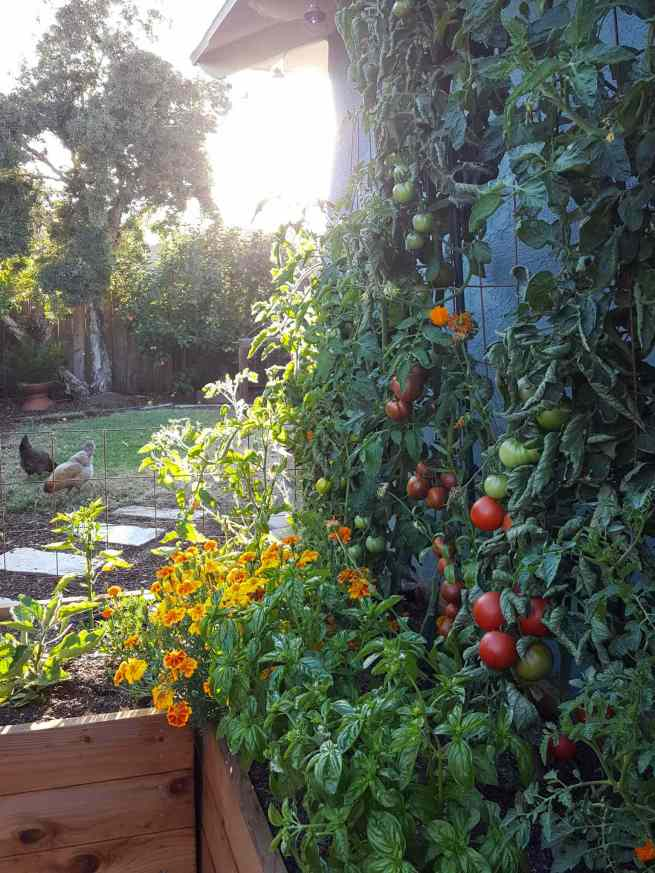 A raised garden bed set against the side of a house. There is a trellis that is set on the backside of the garden bed that contains tomatoes with ripening fruit that is dark brown red to ruby red in color. The frontside of the beds contains numerous basil plants and marigolds that have been amongst the tomatoes. The sun is almost setting in the background which creates a bright glow. There are two chickens picking around in the grass outside of the garden bed area. Basil, marigolds, and tomatoes are considered friends in the companion planting chart.