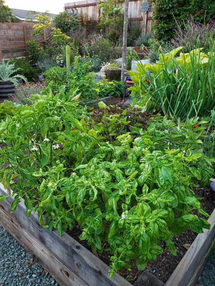 A raised garden bed that is overflowing with three varieties of basil, green Italian basil, purple basil, and cinnamon basil which has green leaves with purple inner leaves and flowers.  There is squash and peppers plants amongst the bed as well. The background contains another raised bed full of onions and squash, a bed full of peppers, and various flowers planted in and around the general area. In the back corner lies a terraced area which contains flowering perennials and fruit trees of small to average size.