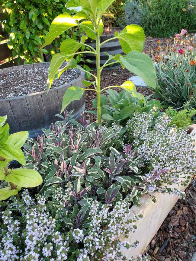 A close up image of a terracotta planter box full of fresh herbs, sunflower, and zinnia. There is green sage, variegated sage, and thyme that is flowering. In the background there is a mulberry tree, daisies, and rosemary. Stripes of sunlight are streaking in through the horizontal fence that is close by.