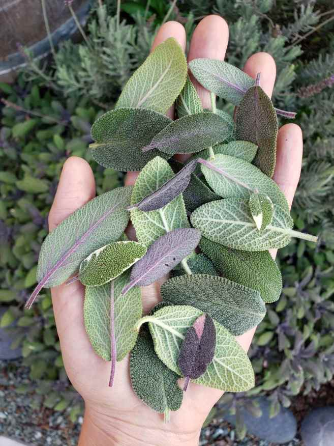 DeannaCat is holding a handful of a variety of sage leaves, from green, to purple, to variegated. Below in the. background lies a sage and lavender bush. A kitchen herb garden allows for endless possibilities in the kitchen.
