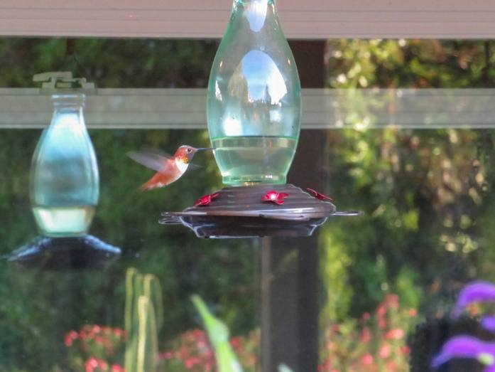 A Rufous hummingbird hovers above a hummingbird feeder. The window in the background is creating a double image of the feeder along with various plants and cacti that are shown in its reflection.