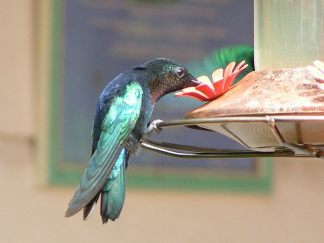 A beautiful black and teal hummingbird is shown perched upon a hummingbird feeder. Homemade hummingbird food is a great supplement to a hummingbirds diet when there aren't as many flowers in bloom.