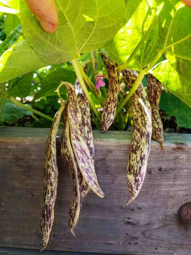 A close up image of the understory of a bean plant and the purple and white string beans that are growing from it. They range in size from 3 to 5 inches.