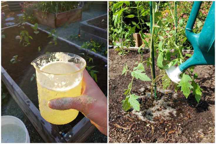 A two part image, the first image shows a hand holding a glass beaker that is full of frothy fresh aloe vera tea that will be fed to the plants directly behind the featured beaker. There is a bucket in the foreground with the remaining aloe vera tea that will be used as a soil drench for the rest of the garden. The second image shows a watering can watering a newly planted tomato in a raised garden bed. When you grow tomatoes, feeding them right from the beginning will go a long way to a bountiful harvest.
