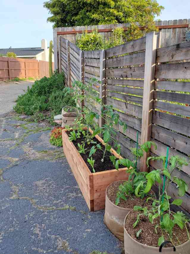 A raised garden bed and two 15 gallon grow bags are shown along a fence line, sitting atop a concrete driveway. The tomato plants are almost two feet tall, when one wants to grow tomatoes, there are many options depending on the space that is available for them.