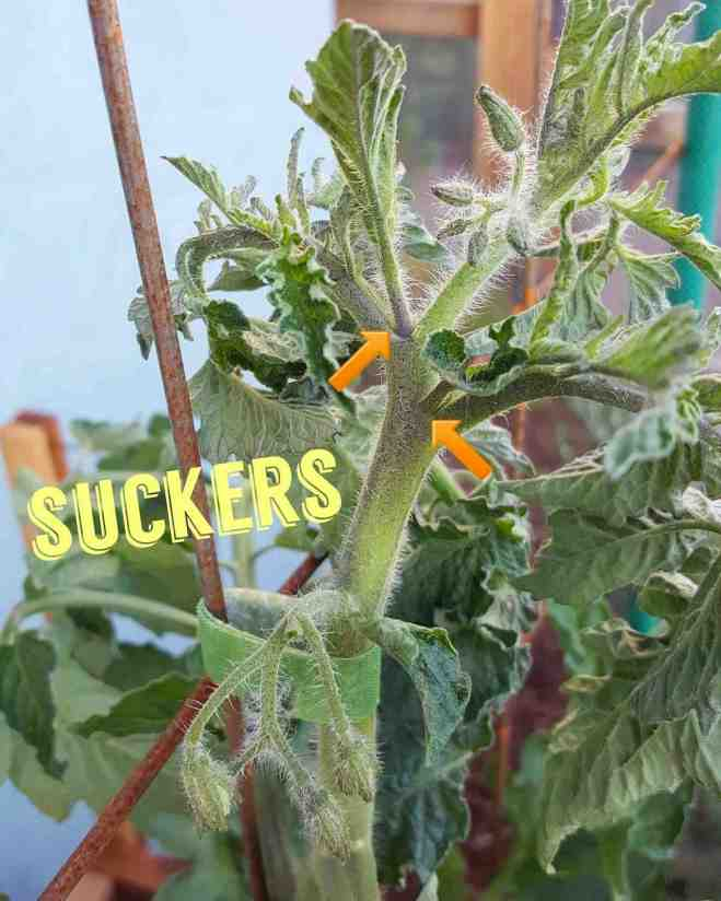 """A close up image of the top of a tomato plant. The sucker branches off of the leader are shown by two arrows pointing to each of the sucker branches which are forming at the crook of the main stem and leaf branching. The word """"suckers"""" as been photo shopped onto the image to illustrate the point further. When young, suckers almost look like baby tomato plants growing off of the main tomato plant."""