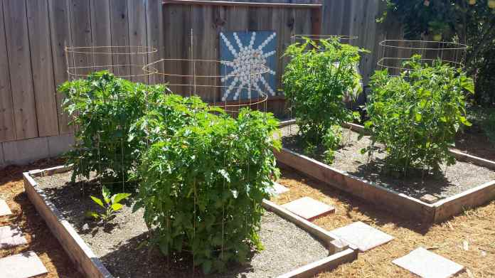 Four tomato plants growing in two raised garden beds is shown. They are all being supported by tomato cages and each one is between two and three feet tall as they are not fully mature yet.