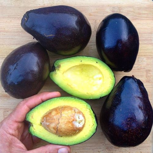 Four whole Brogdon avocados are shown while a fifth has been cut in half to show the flesh inside. A hand is holding the half that contains the pit which is rather large compared to the flesh. The skin of the avocados is shiny black and smooth.
