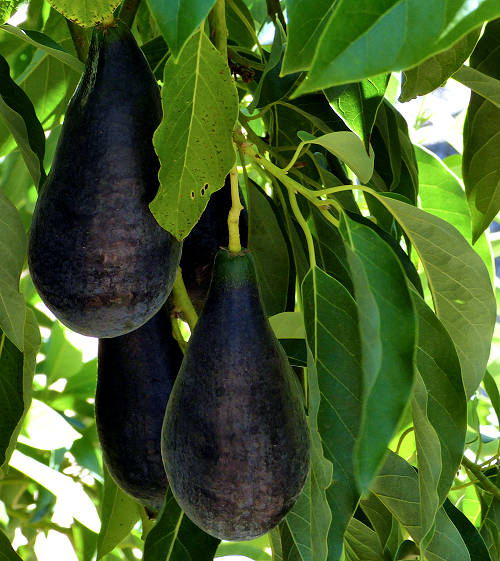 The understory of a Wilma avocado tree is shown. There are a handful of large black tapered fruit with smooth skin hanging from the tree.
