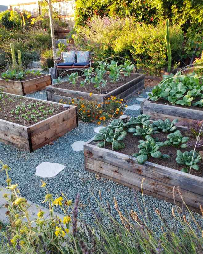Four raised garden beds are shown with metal hoops inserted into the edges of the beds, making a perfect support for protective row covers. There are various winter vegetable plants planted throughout the beds. The perimeter of the image contains various vines, perennials, trees, and shrubs, all basking in the evening sun.