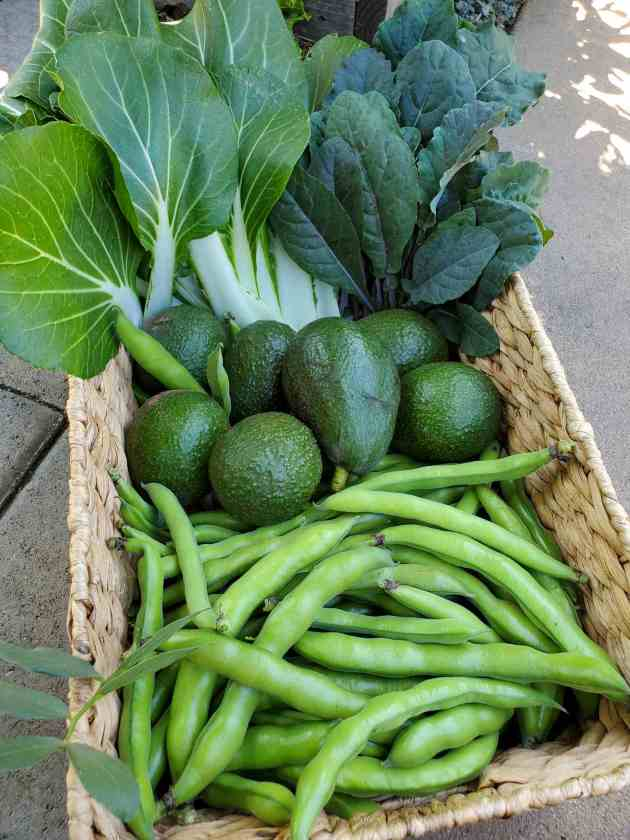 A wicker basket full a freshly harvested vegetables. The front of the basket has a pile of fava beans while the back contains bok choy and lacinato kale leaves. The middle of the basket contains five large Hass avocados and one extra large Sir Prize avocado.