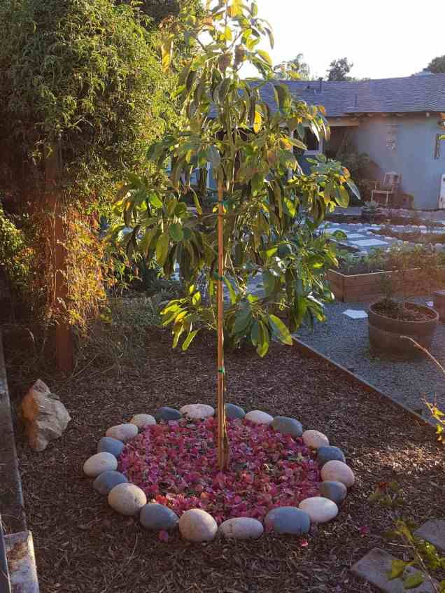 A young avocado tree is shown after it was recently planted. The rootball of the tree has a circle or river rock around  it with a mulch of colorful fallen leaves from nearby plants.