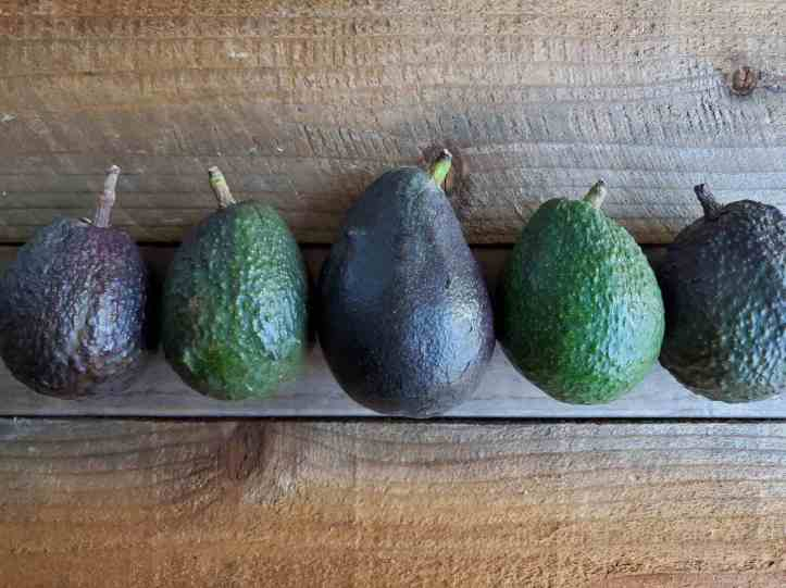 Five avocados are lined up in a single file line amongst a wooden backdrop. Four of them are Hass avocados while the middle is a large Sir Prize avocado. Three of the avocados are close to being ripe and ready to eat. When you can grow avocados, it's fun to have a variety of types.