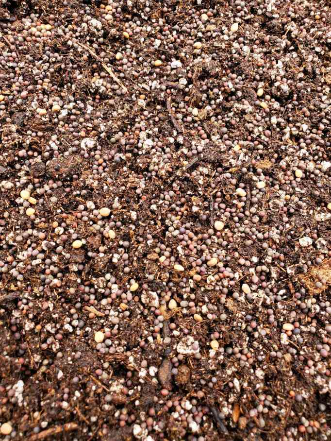 A close up image of a mixture of brassica seeds sown on top of seed starting soil mix. The seeds are smaller and can be more heavily sown.