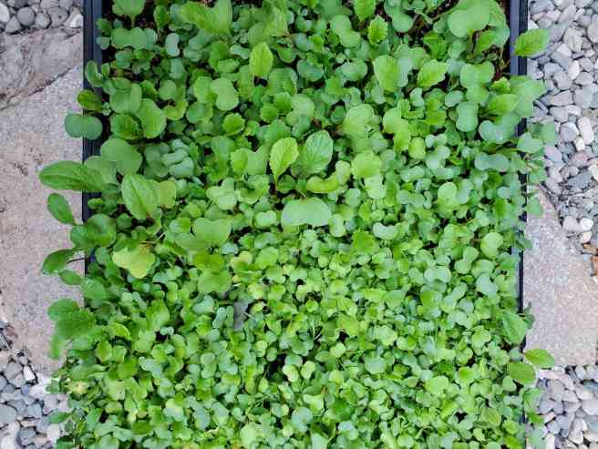 A birds eye view of a tray of mature microgreens sitting on a gravel pathway. Each green is a couple inches tall and showing one to two true leaves.