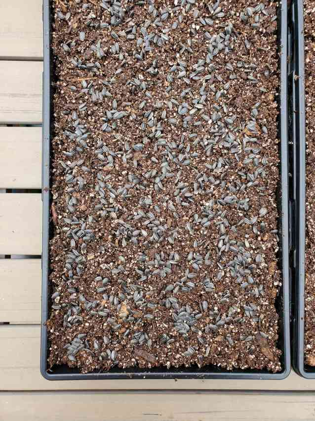 A tray of sown sunflower seeds sitting atop a shallow bed of seed starting mix. Next a small amount of seed starting mix will be added on top to lightly cover the seeds.
