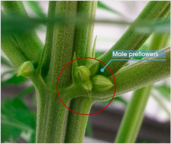 Close up image of male flowers that are starting to protrude fro. the main stalk of the plant. The flowers are more  pronounced with larger balls forming.