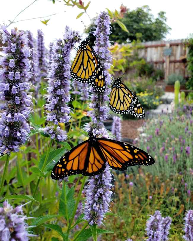 Vertical spears of purple agastache flowers are shown, two of which have three Monarch butterflies latched onto them, drinking the nectar within. the flowers. Help save pollinators by planting nectar and pollen producing plants.