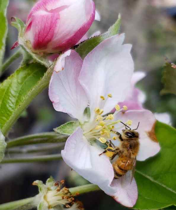 A close up image of a blooming apple flower that is white with shades of pink. Its stigma and stamen from the inside of the flower are open to the world outside and a honeybee is sitting on the flower collecting pollen. Its hind legs have a ball of pollen attached to it which it has collected. Flowers of many types can help save pollinators.