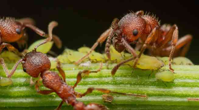 """A close up image of three ants sitting on top of aphids on a plant limb. They are milking the aphids of """"honeydew""""."""