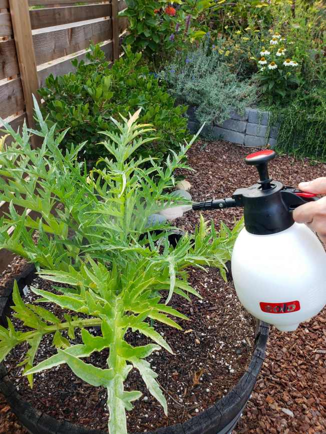 A hand is using a small handheld pump sprayer to spray an artichoke plant that is infected with aphids. The artichoke is planted in a half wine barrel amongst bark mulch ground cover, various shrubs, flowering annuals, and perennials.