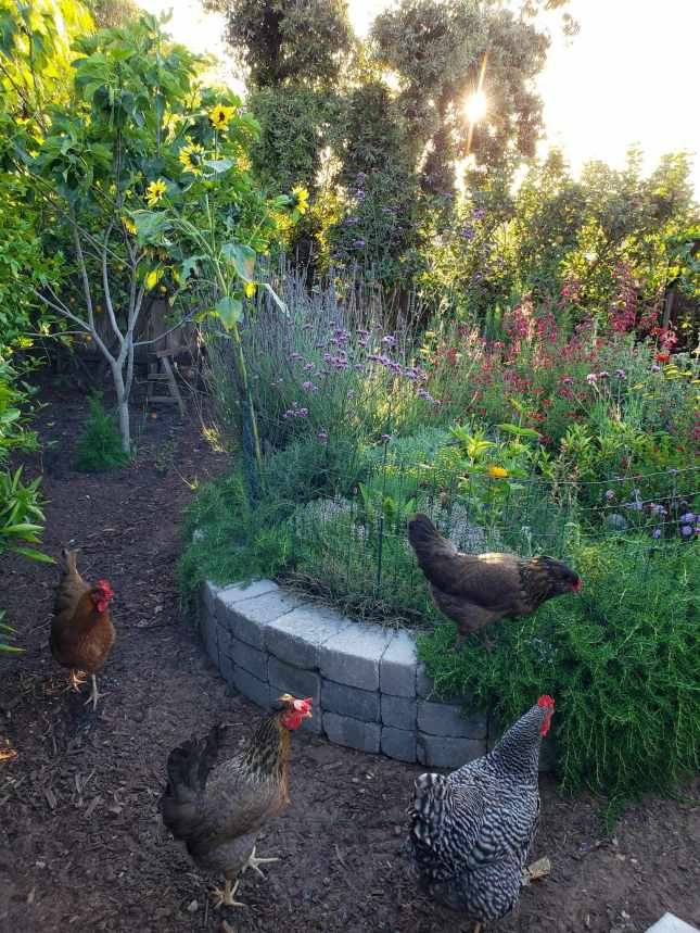 Four chickens are investigating around a raised stone island full of plants for pollinators. Trailing rosemary is creeping over the edge of the stone border and one of the chickens is standing on the edge of the island and rosemary. The setting sun is peaking through a tree in the background and there are various fruit trees along the perimeter of the yard. An apple, fig, and lemon tree being the most prominent.