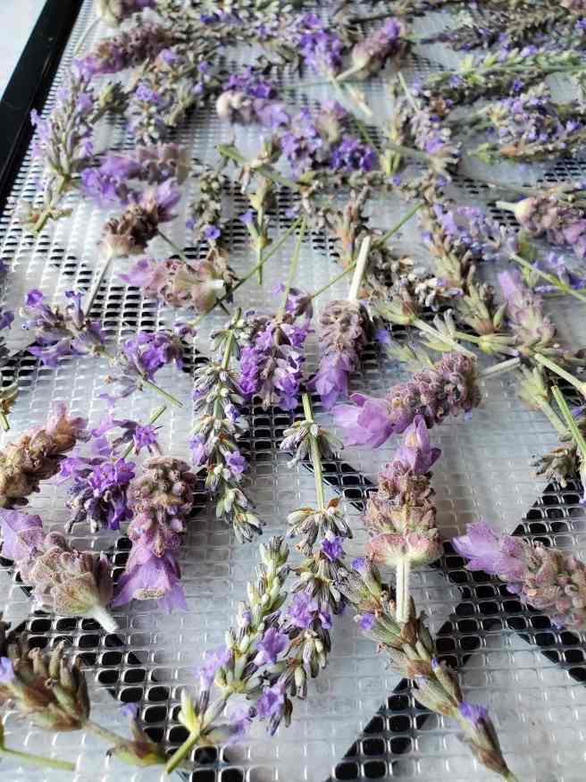 Fresh lavender flowers are shown on a drying tray that will soon be placed in a dehydrator. The flowers are fairly evenly spread across the tray for more even drying. The flowers are form at least four different varieties of lavender so each one has its own unique color, shape, and size.