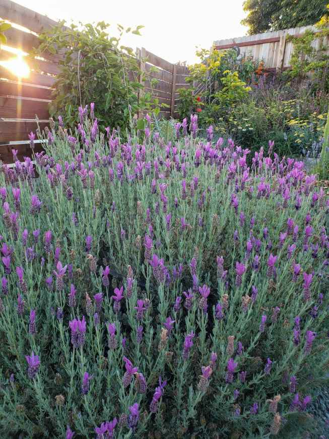 A large Spanish lavender plant is featured with hundreds of fresh purple blooming flowers. The purple contrasts the plants light mint colored foliage. Beyond the lavender are various fruit trees and flowering perennials with varying flower coloration from yellow, to white, to orange, blue and pink. There is a horizontal fence just beyond the plants and trees and the setting sun is shinning through an open slat.