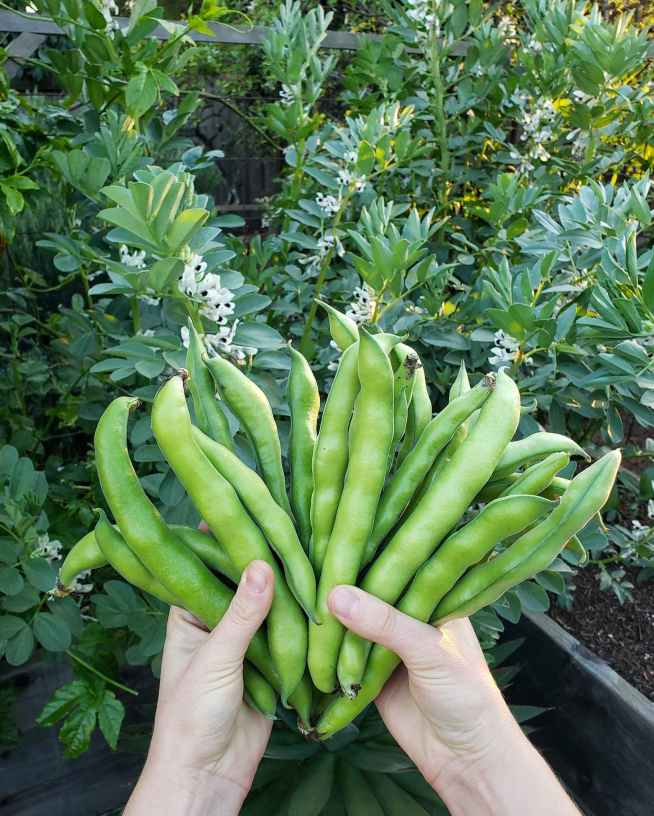 DeannaCat is holding two handfuls of freshly harvest fava beans, she is holding them as one would spread out a deck of cards. Some of the beans are at least eight inches long, there are fava bean plants growing in the background with hundreds of white flowers set against their dense green foliage.