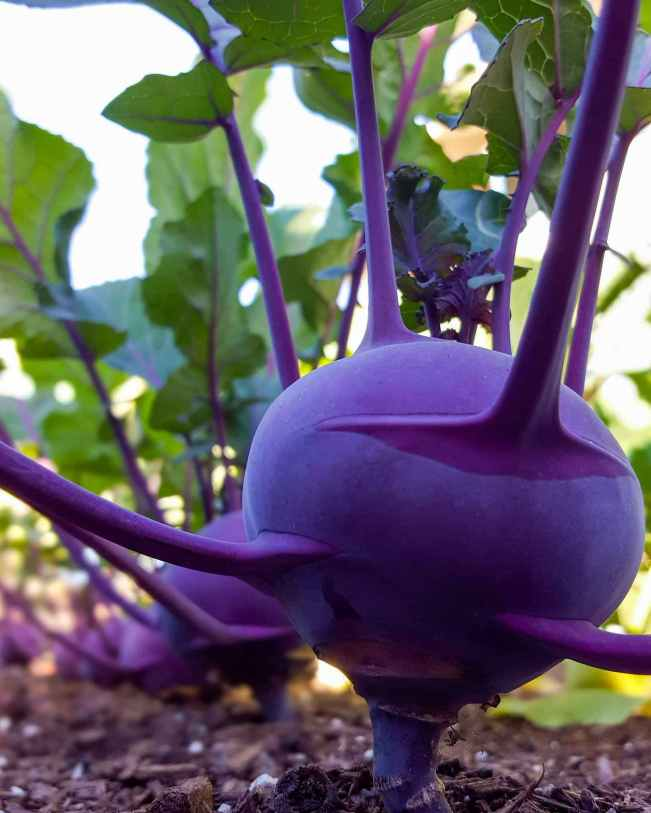 A close up image showing a purple kohlrabi growing amongst a row of the same vegetable. The featured root protrudes from the soil by its taproot which sticks out of the ground by a half inch or so before the edible portion of the root begins. It grows leaves throughout various parts of its root, not just from the top like many other roots. The greens are leafy with purple veins.