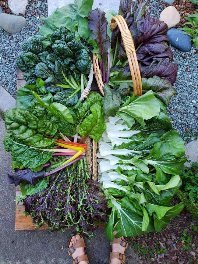 A birds eye view of a fresh harvest of winter vegetables is shown. They are arranged in various wicker baskets which are only visible on a few of their edges and one has a handle. There is an array of bok choy, red mustard greens, rainbow chard, tatsoi, and asian greens. All of the vegetables are vivid in color ranging from white, green red, yellow, purple, and shades in between.
