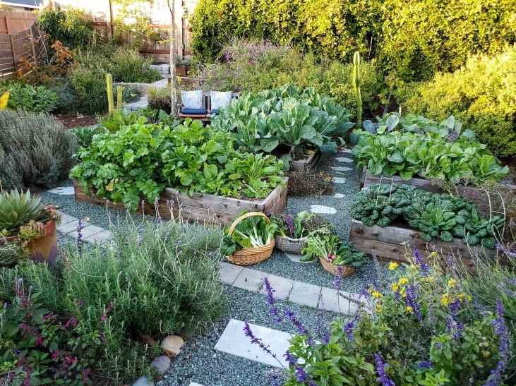 The front yard garden is featured in full fall garden mode. Each of the four garden beds are billowing with various winter vegetables from cauliflower, bok choy, tatsoi, savoy, kale, collard greens, asian greens and radishes. There are three wicker baskets arranged in front of the the two closest garden beds, each one filled with an assortment of freshly harvested vegetables. The area around the garden beds is full of flowering perennials, vines, trees, shrubs, and cacti.