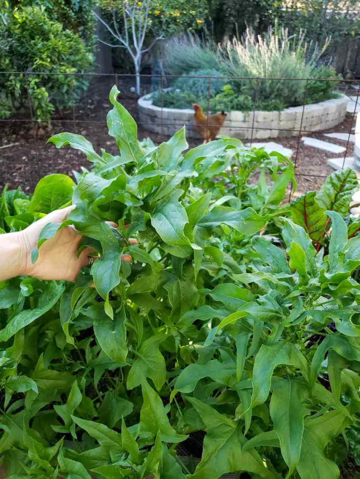 DeannaCat is touching the top of a spinach plant that is full and lush with green leaves. The plant has various tops of new growth, a chard plant and romaine lettuce can be seen hidden amongst the spinach. An orange-brown chicken is in the background, frozen as if the image being taken is of her. There is also a stone wall pollinator island full of flowering perennials and herbs.