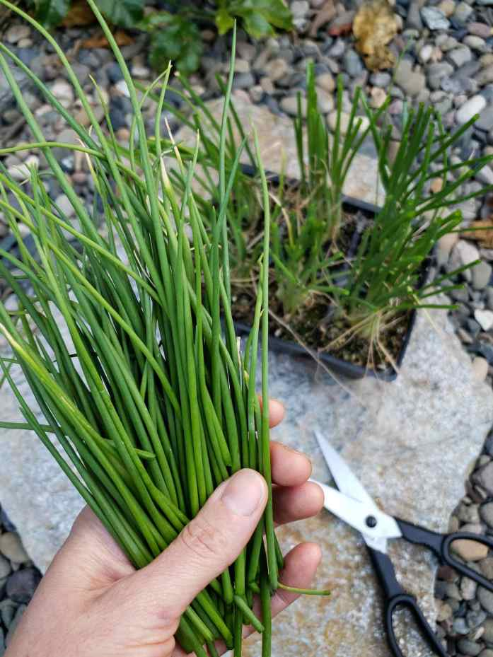 DeannaCat is holding a bunch of green onion tops that resemble chives. Below laying on the flagstone is a pair of scissors and a cell 6 pack of onion seedlings. There are many planted in each cell, these will need to be pulled apart and planted individually to make for a fast growing crop.