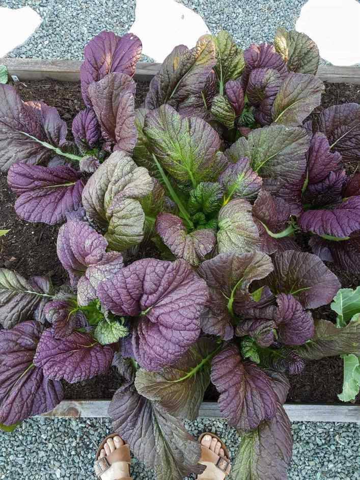 A birds eye view of red giant Japanese mustard greens growing in a raised garden bed. The mustard greens are purplish red in color with green ribs.