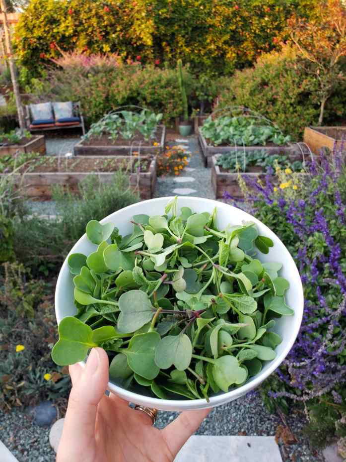 A white ceramic bowl full of thinned seedlings (microgreens) from various edible greens.  Beyond the bowl are multiple raised garden beds full of young brassicas, asian vegetables, and radishes. There are also various flowering perennials such as salvia, lavender and yarrow. The furthest backdrop is a mixture of vines and perennials that create a wall of green with purple and pink flowers. Promote growth for fast growing crops by thinning seedlings to ensure each plant gets all the nutrition, moisture, and oxygen it needs to thrive.