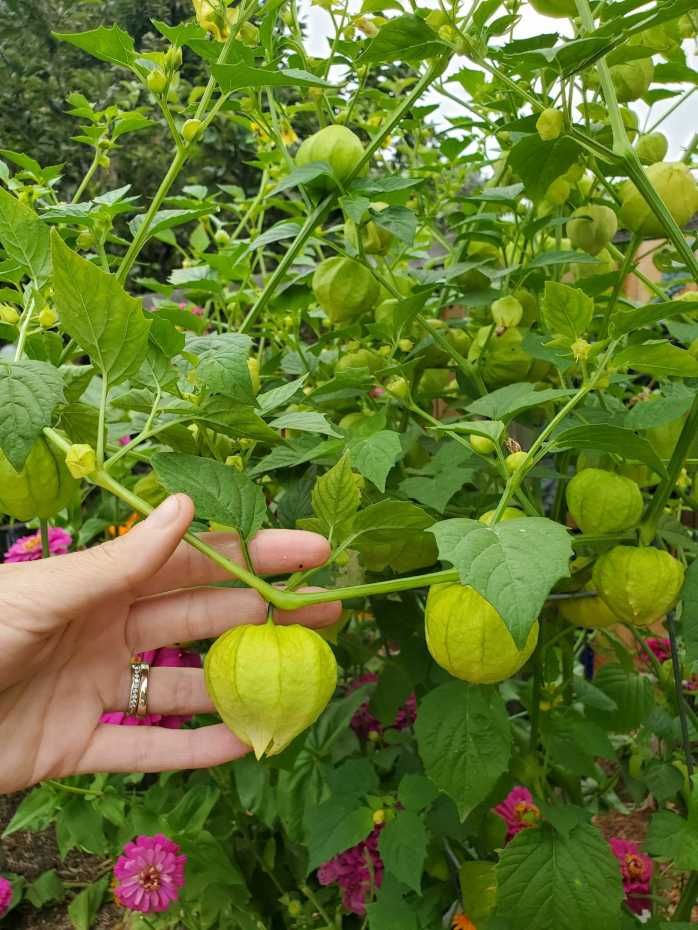 A hand is holding a tomatillo plant branch with large, ripe tomatillos attached to it. There are purple and pink zinnia flowers visible through the plants foliage.