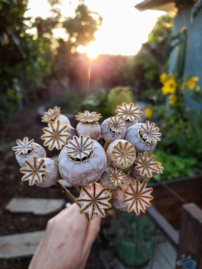A handful of dried poppy flowers. Their flower head turns into a roundish orb with a semi star shaped round top. Holes are revealed in the orb once the top of the flower head dries and raises off the main portion. Tip the heads upside down to safe flower seeds that are held within the dried head.