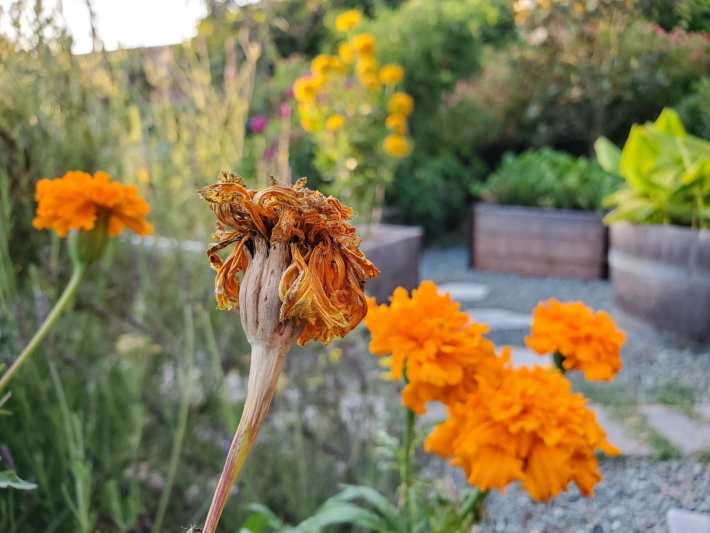 A cluster of orange marigold flowers are shown, shooting up from the plant below which is just out of sight. Most of the flowers are bright in color and lush in shape. One of the flowers however is on its way to seed preservation. Most of the petals have dried and turned brown while the stem of the flower is turning brown as well.
