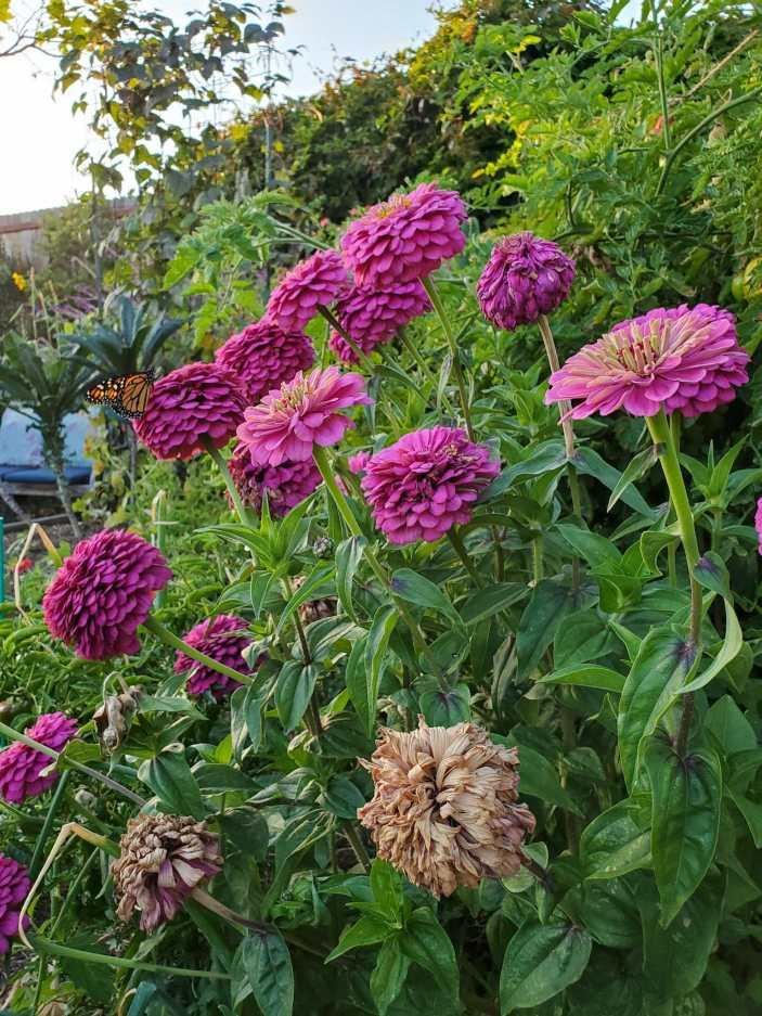 A large, multi headed purple zinnia plant is shown amongst a garden with peppers, tomatoes, pole beans and kale growing in the background. Some of the zinnia blooms are brown and drying while others are bright and full and some are in between. There is a Monarch butterfly perched atop one of the zinnia flowers.