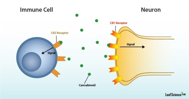 An anatomical diagram of microscopic interactions of  CB2 receptors of an immune cell on the left and  CB1 receptors of a neuron on the right. They are both drawing in free floating cannabinoids into their bodies through the receptors.