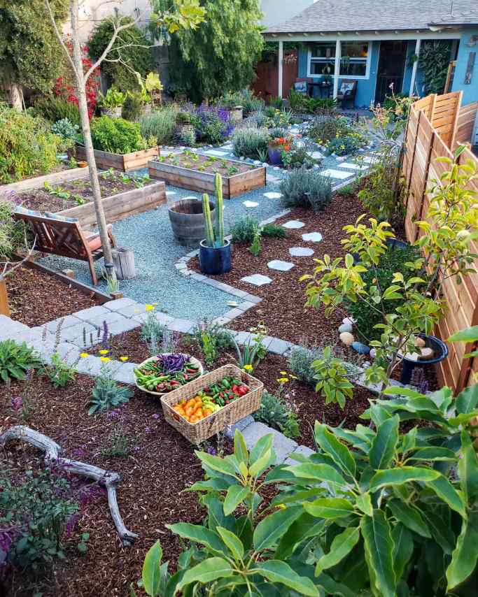 The front yard garden shown, the image is taken towards the house. From terraced garden space in the foreground mulched with redwood bark adorned with two wicker baskets full of various chili peppers, to the redwood bark mulched perimeter dotted with trees and shrubs, to the gravel pathways lined with pavers for a walkway, along with various garden beds mulched with woody compost. There are plants of all kinds growing amongst each other, in every space possible.