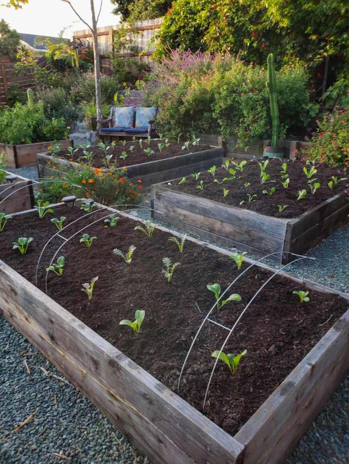 A number of raised garden beds are shown, each planted out with various tender seedlings and topped with woody compost mulch. Some of the beds have hoops attached to them which will be lined with row covers to keep pests out. There are various perennial flowering plants in the background along with cacti, vines, shrubs, and trees.