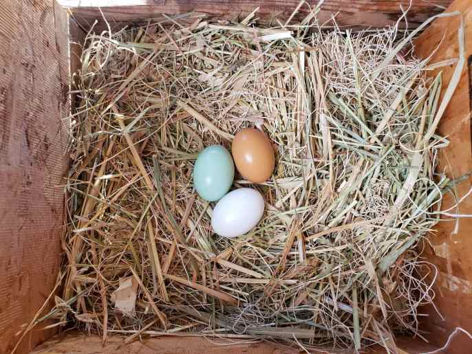 A birds eye view of the top of a nest box which contains three wooden eggs resting atop the hay within. They are white, light green, and brown in color. Stop chickens eating eggs by keeping impenetrable wooden eggs in their nest boxes.