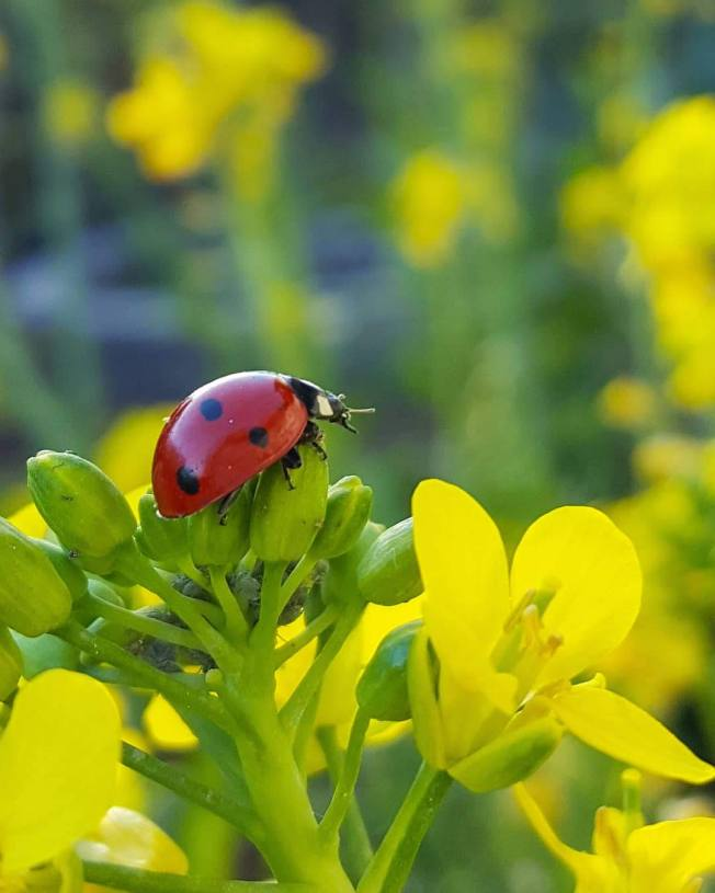A ladybug is on the flowering tip of a bolting brassica plant. There are aphid also on the flowering tips which the aphid will gladly eat.