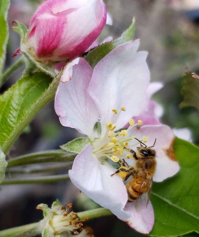 A close up image of a bee collecting pollen from an apple flower. The bee's hind legs have a large ball of pollen that it has collected. The apple flower is pink and white. Attracting pollinators is a key gardening term.