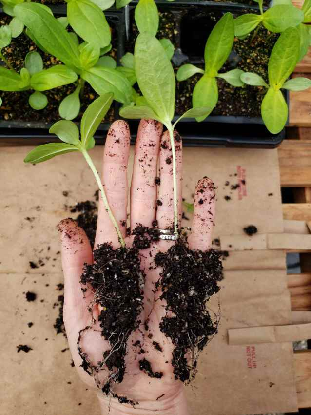A hand is holding two seedlings that have been separated into two pieces, with their roots all still in tact. Thinning is an important gardening term for successful plant growth.