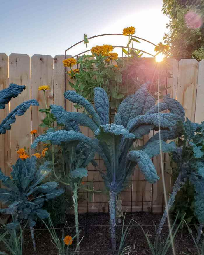 Kale growing in a raised garden bed set against a fence are shown. The kale is growing and reaches almost the top of the fence, there is a golden zinnia plant that is growing past the fence line behind the kale with the setting sun shining in just above the fence on its way down. The kale plants have bare stalks much like a palm tree, showing the leaves that have been harvested throughout its growth.