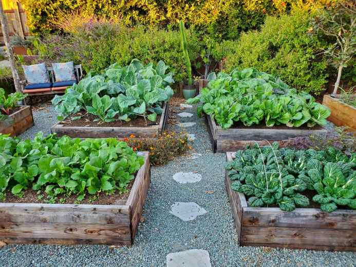 Four raised garden beds are shown full of mature winter vegetables such as savoy, asian greens, bok choy, radishes, kale, and cauliflower. There are some metal hoops still visible on the beds which help keep row covers affixed over the beds. There are various types of mulch used in the image from woody compost in the garden beds, gravel in the pathways, and bigger bark mulch in the perimeter around the perennials and shrubs.